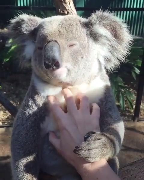 So cute and relaxed 😘💕 #CreativeDIYsandall #animals #animalvideos #socute #funnyanimals #funnyanimalvideos #KendinYapveDiğerHerşey #hayvanlaralemi #hayvanlar #hayvanvideoları #koala