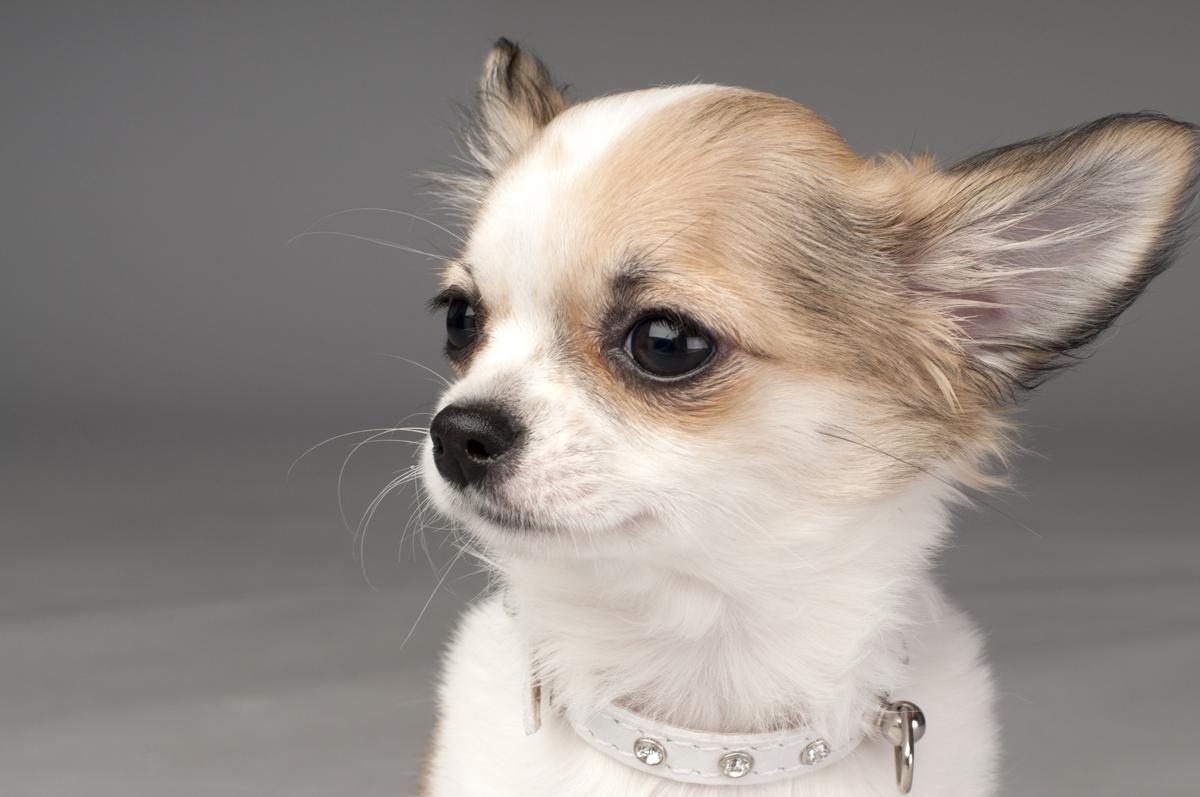 Young Chihuahua Chihuahua Dog Breeds Chihuahua Dogs Lazy Dog