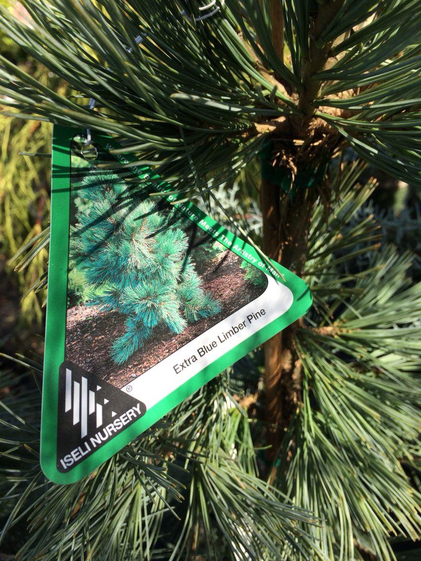 Extra Blue Limber Pine Landscape Plants Pinterest Evergreen And