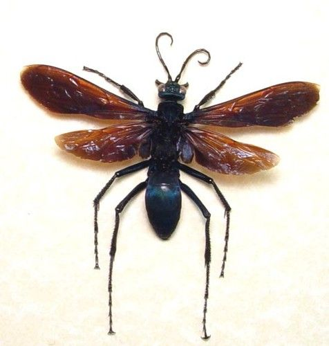 Black Wing Female Tarantula Hawk Pepsis Wasp Tarantula