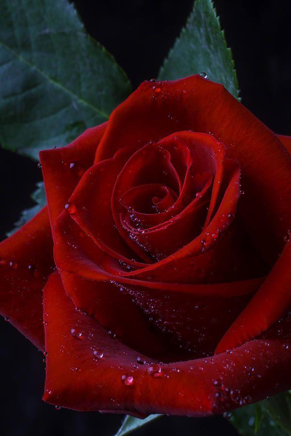 Pin On Trandafiri