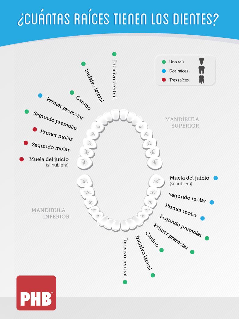 Cuántas raíces tienen los dientes? | Cónsul | Pinterest | Los ...