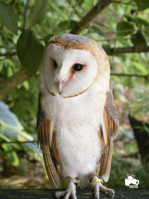 Barn Owl - Ohio Bird Sanctuary, Mansfield, Ohio Injured or ...