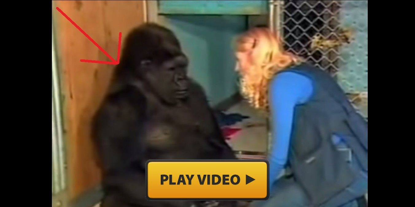 This Gorilla Just Can T Stop Sobbing When I Knew The Reason I Was In Tears Too Mind Blowing Videos Gorilla Primates Cute Creatures