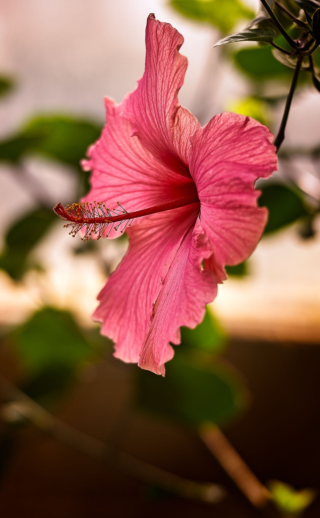 Hibiscus flowers uk images flower wallpaper hd hibiscus hibiscus flower my photos of england pinterest hibiscus hibiscus flower izmirmasajfo izmirmasajfo