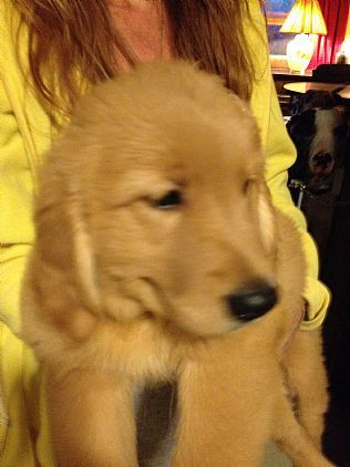 Golden Retriever Puppies Pet Dog Puppies For Sale in NY | Want Ad Digest Classified Ads