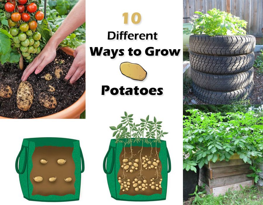 10 Ways to Grow Potatoes Growing vegetables, Potato