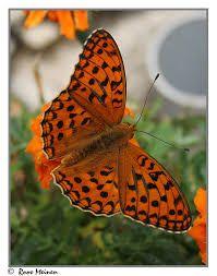 Afbeeldingsresultaat voor tropische vlindersoorten
