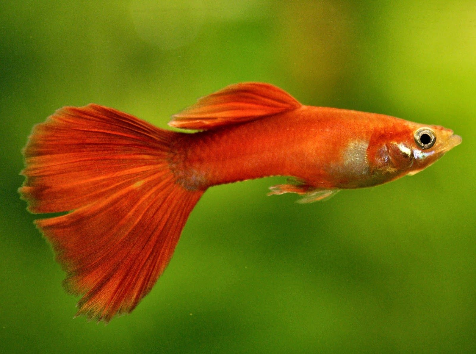 Guppy Hd Wallpapers Hd Wallpapers Inn Painted Wine Glasses
