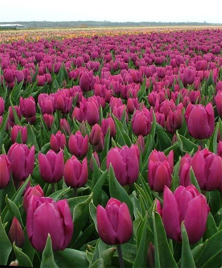Tulip Purple Prince - Single Early Tulips - Tulips - Flower Bulbs Index