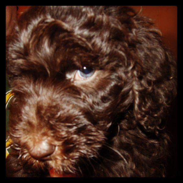 Chocolate Labradoodle With Blue Eyes Chocolate Labradoodle