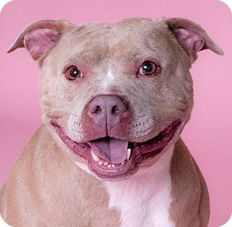 Pictures Of Joanie A American Pit Bull Terrier For Adoption In