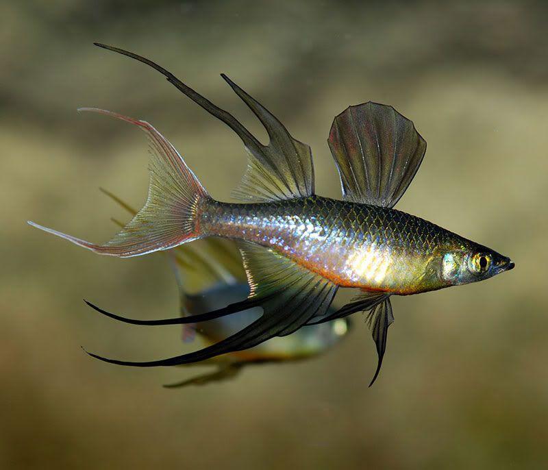 threadfin rainbowfish underwater faszination pinterest fische zierfische und wasser. Black Bedroom Furniture Sets. Home Design Ideas