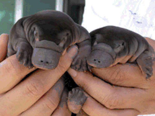 Baby Duck Billed Platypus Baby Platypus Duck Billed Platypus