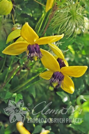 Pin Op Botanical Clematis