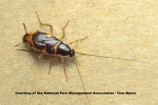 Female Brown Banded Cockroaches Have Underdeveloped Wings But