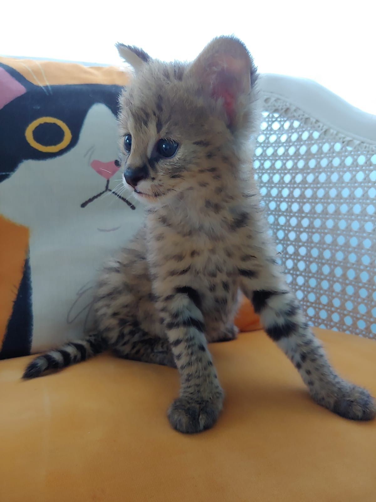 F1 Savannah Kitten For Sale F1 Savannah Cat For Sale F1 Savannah