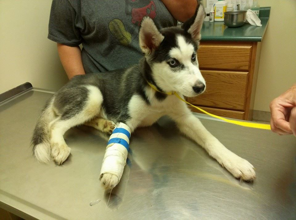 Found In Muncie Indiana Meet Alex The Husky Puppy Alex Was
