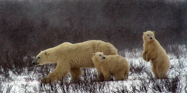 Polar Bears, Churchill, Manitoba, Canadian Prairies, Canada, North America