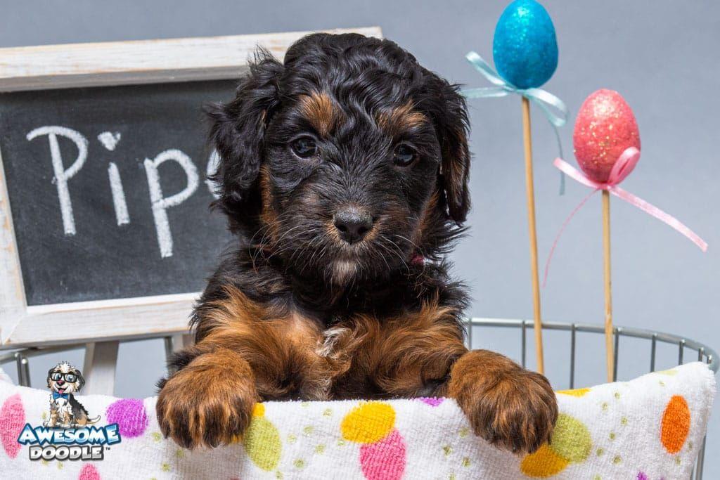 Meet Piper The Black Phantom Aussiedoodle Puppy In 2020 Aussiedoodle Bernedoodle Puppy Puppies