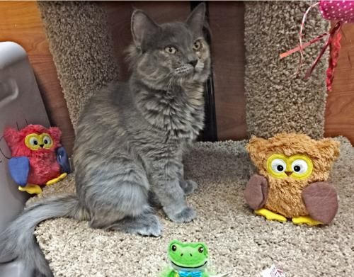 Tuff Tempe AZ Cats, Cat adoption, Pets cats