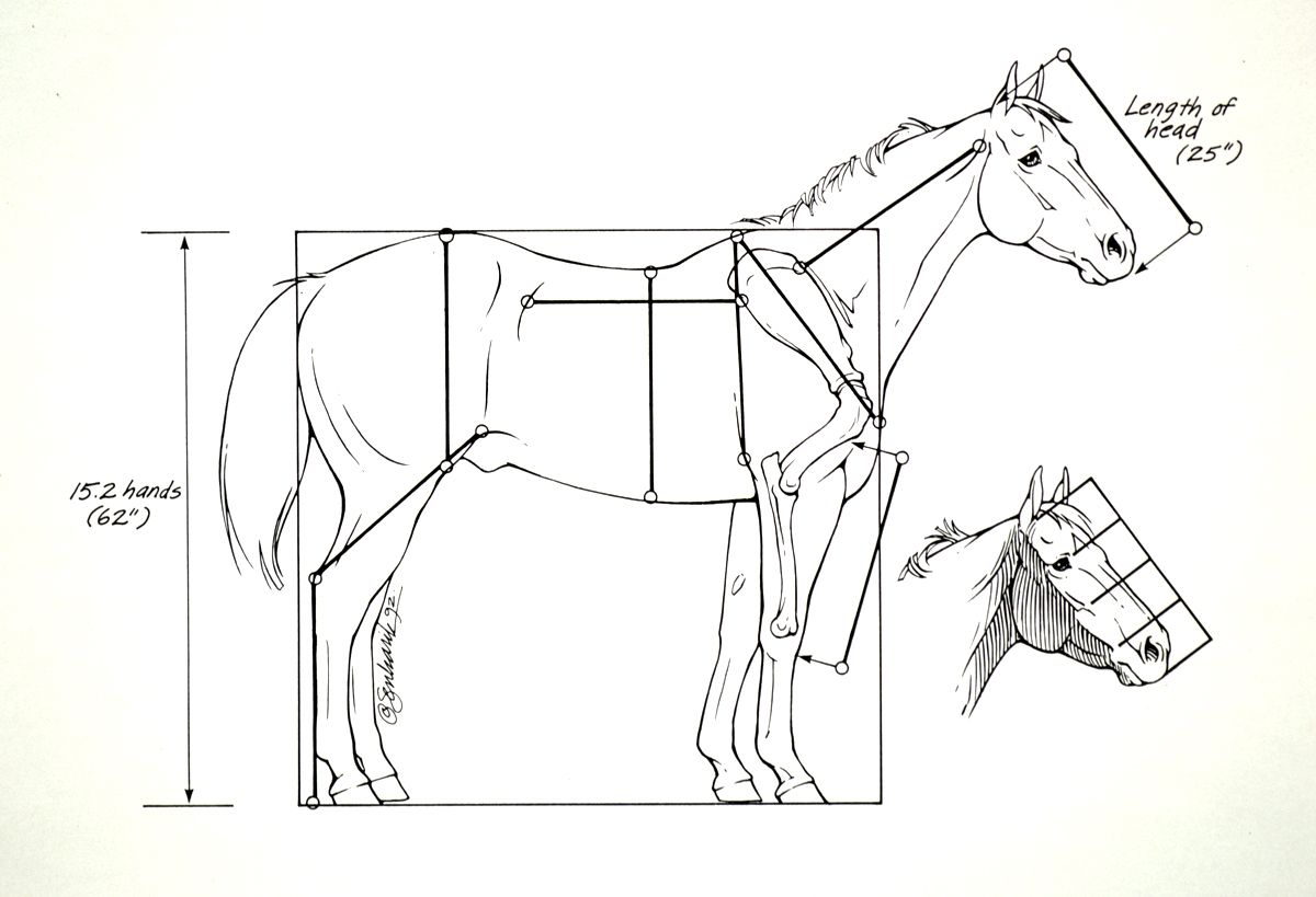 Horse Anatomy I | Horse anatomy, Horse and Anatomy