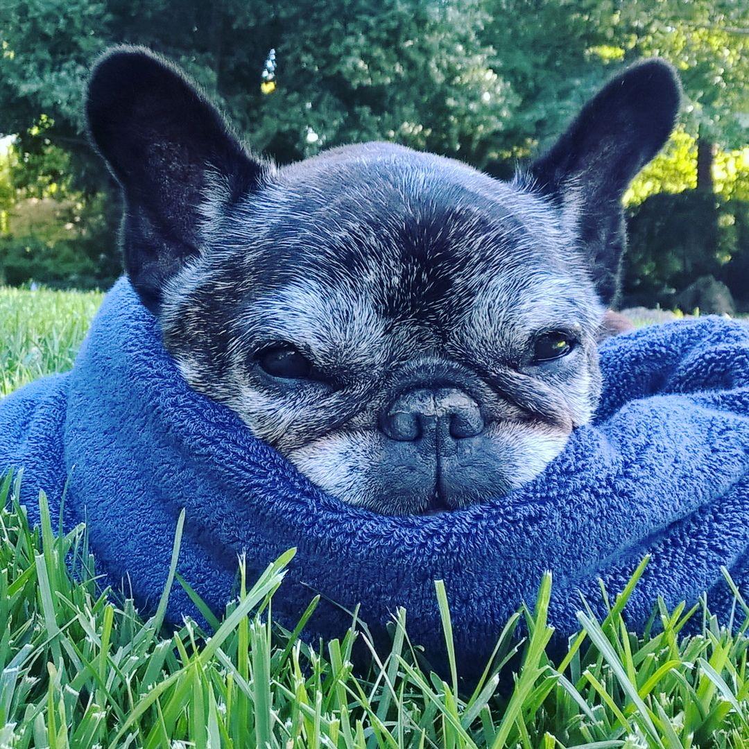 I N S T A G R A M Emilymohsie Frenchie Bulldog Cute Animals Animals
