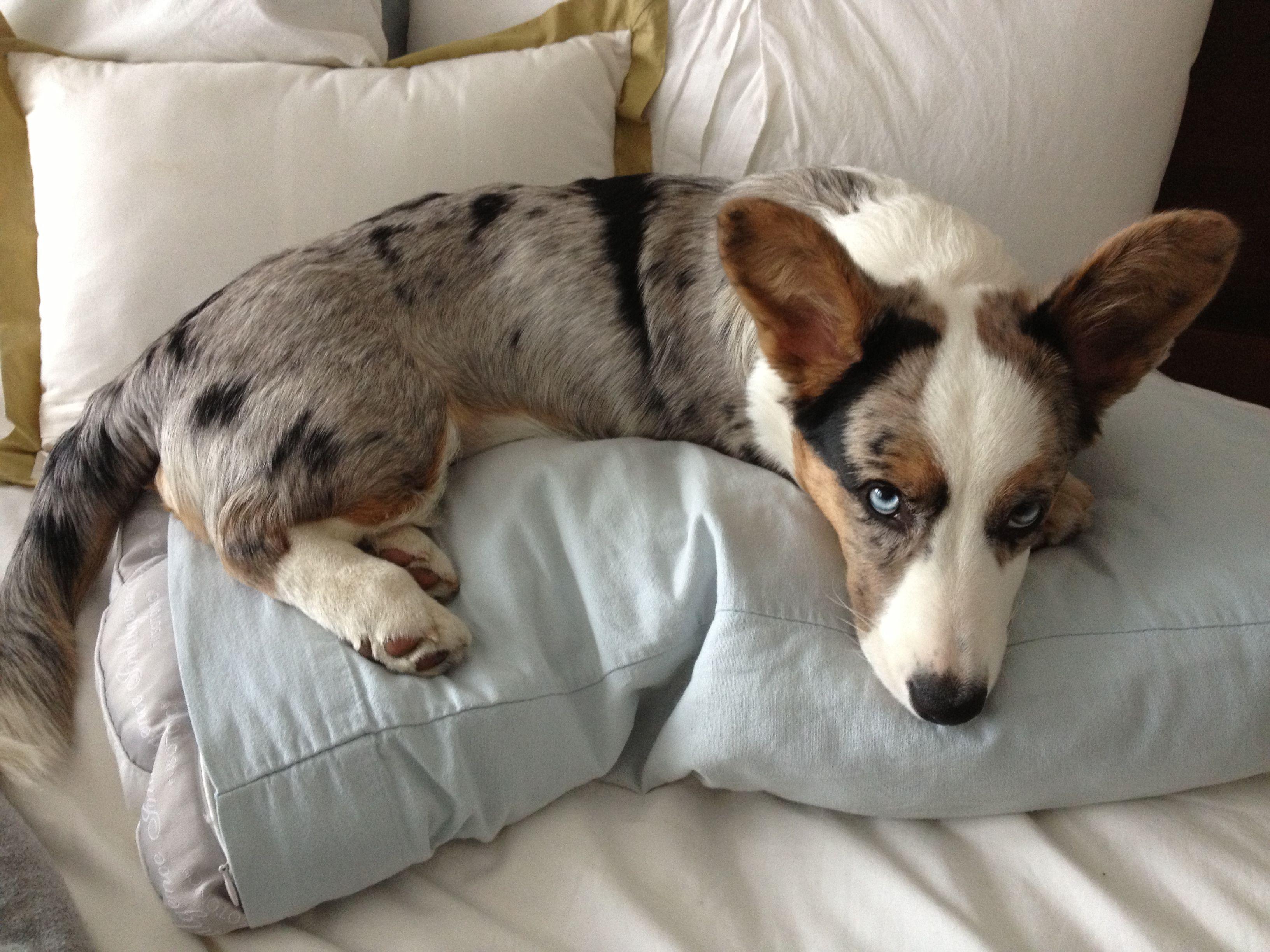 Site Unavailable Corgi Blue Eyed Dog Corgi Dog