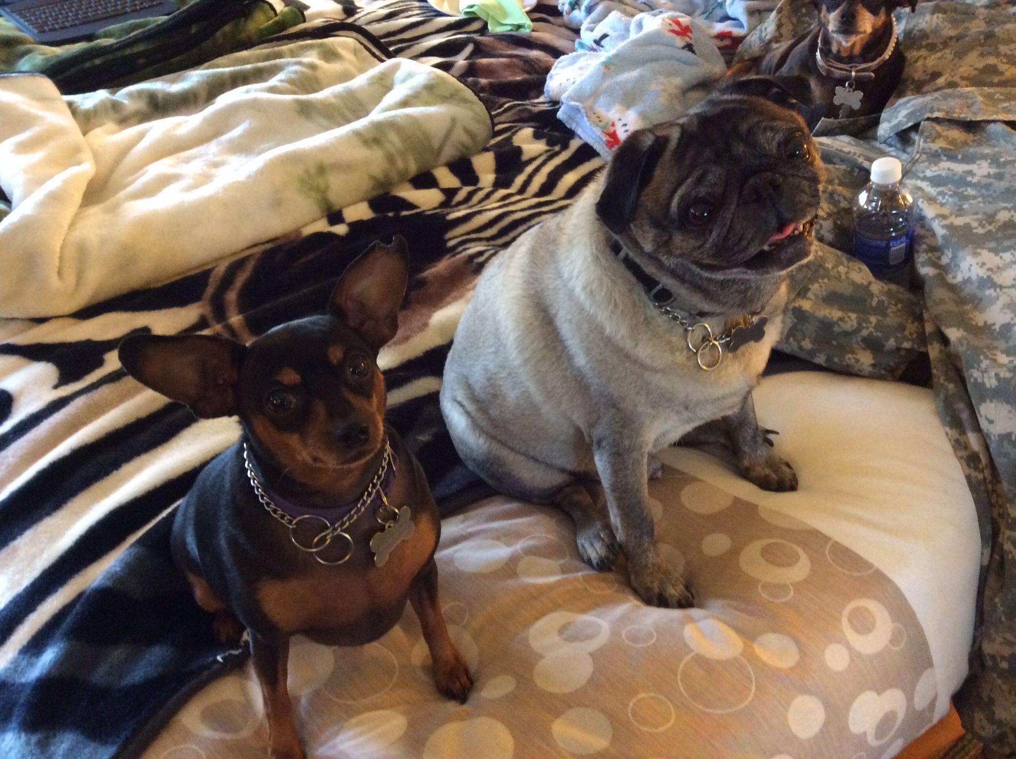 Pin by Rita risser on minpin Pincher dog, French bulldog
