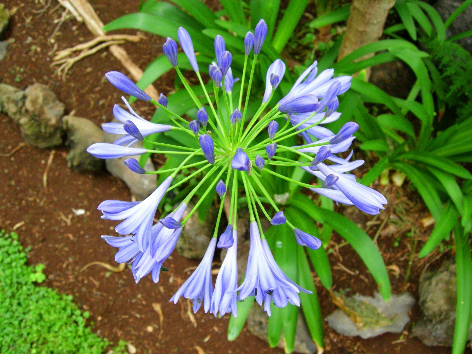 Agapanto, también llamado Lirio africano o flor del amor. Una ...