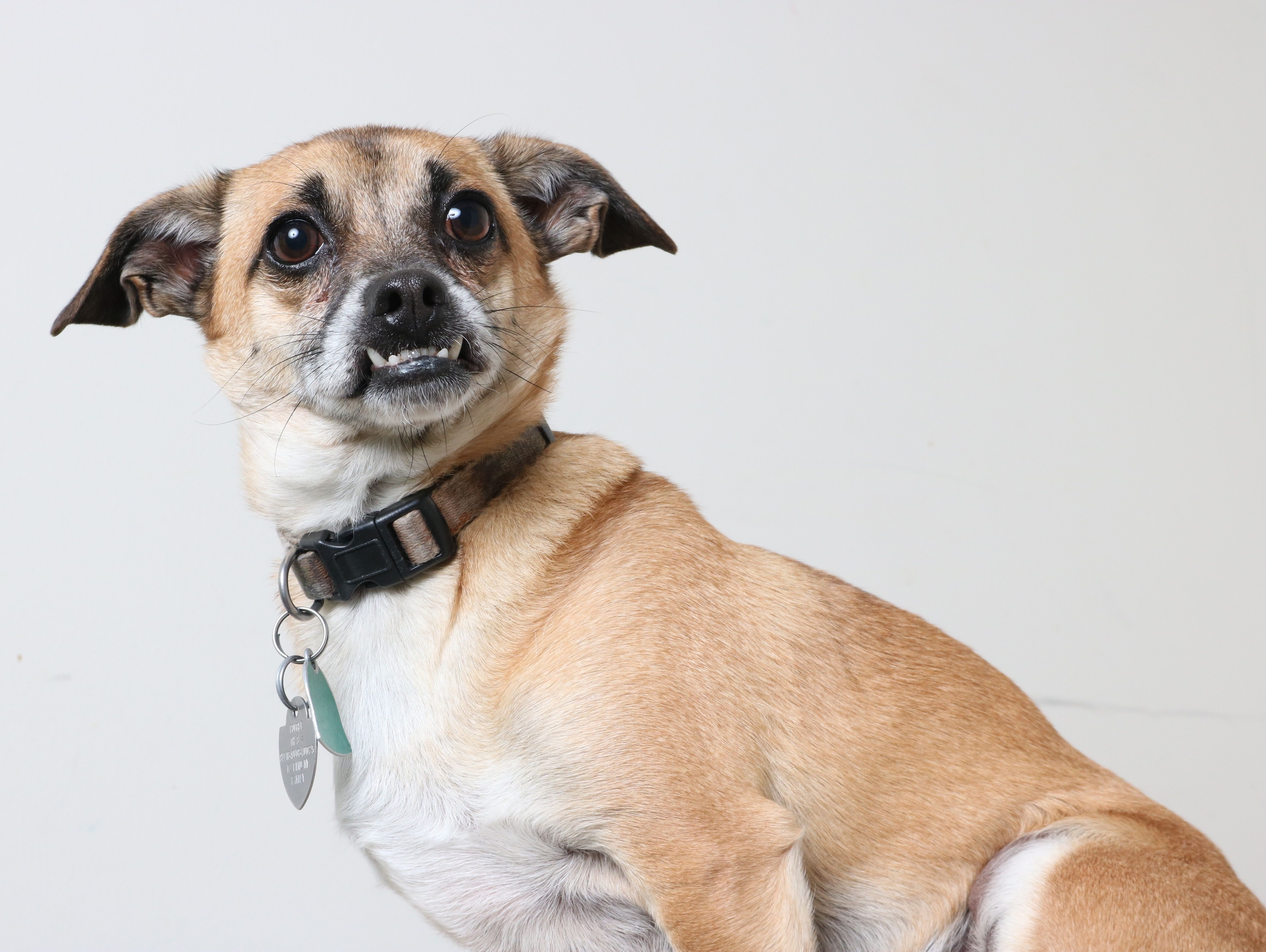Chug Dog For Adoption In Eden Prairie Mn Adn 430514 On