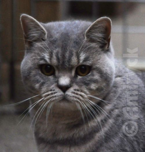 Denim - Amiryck Cats