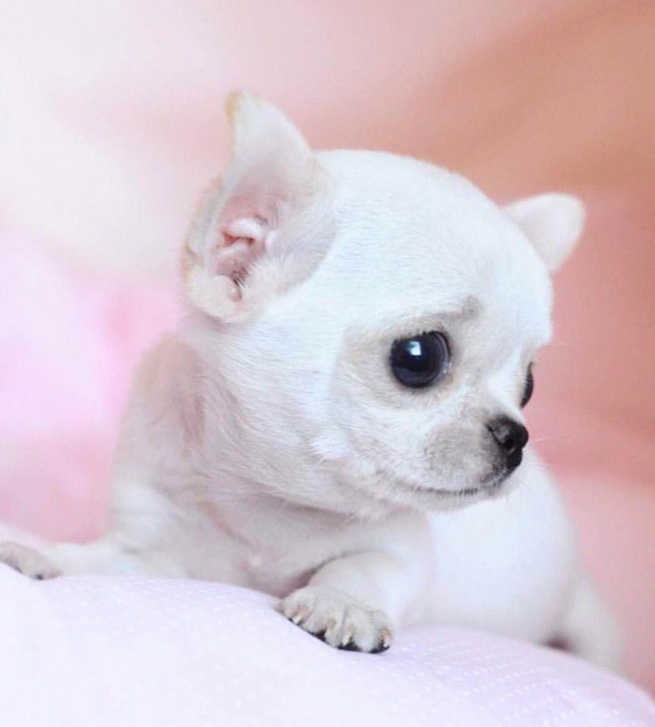 Awww Chihuahua Chiwawa Teacup Chihuahua Chihuahua Facts