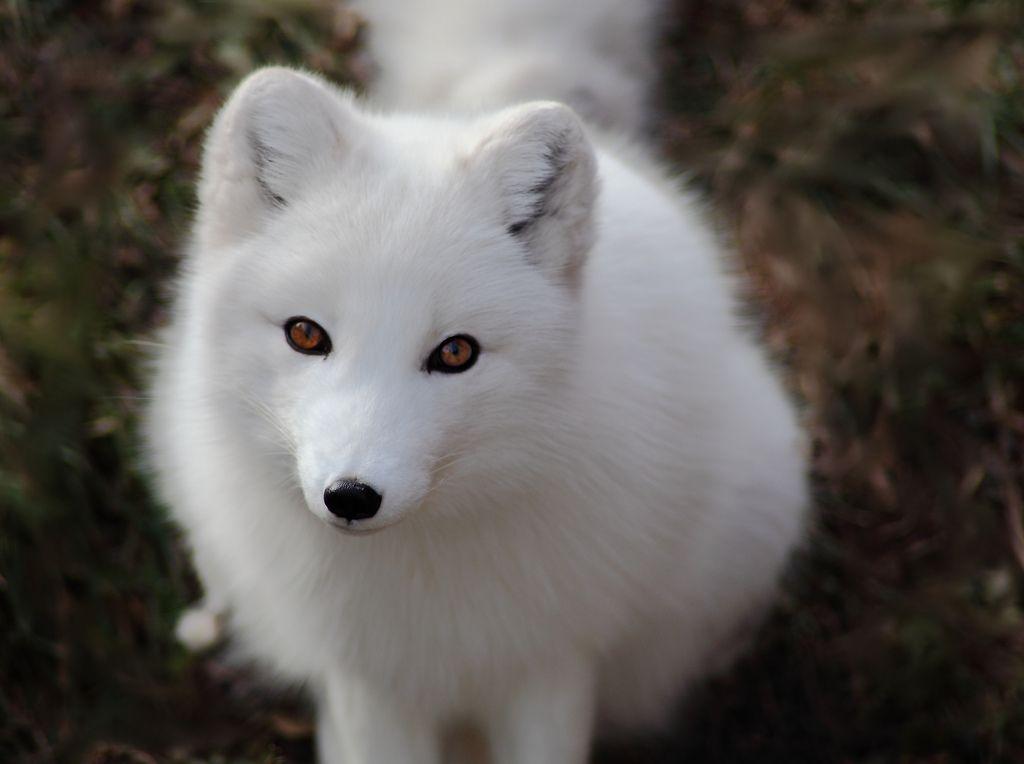 Fox Dreaming foxes Arctic fox