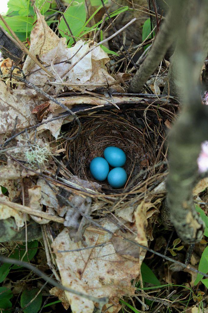 Veery Nest Nest Bluebird Nest Spring Birds