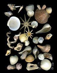 Dale Hoopingarner  Scanography Seashell Collage