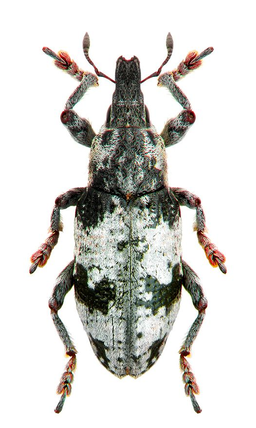 Chromoderes affinis