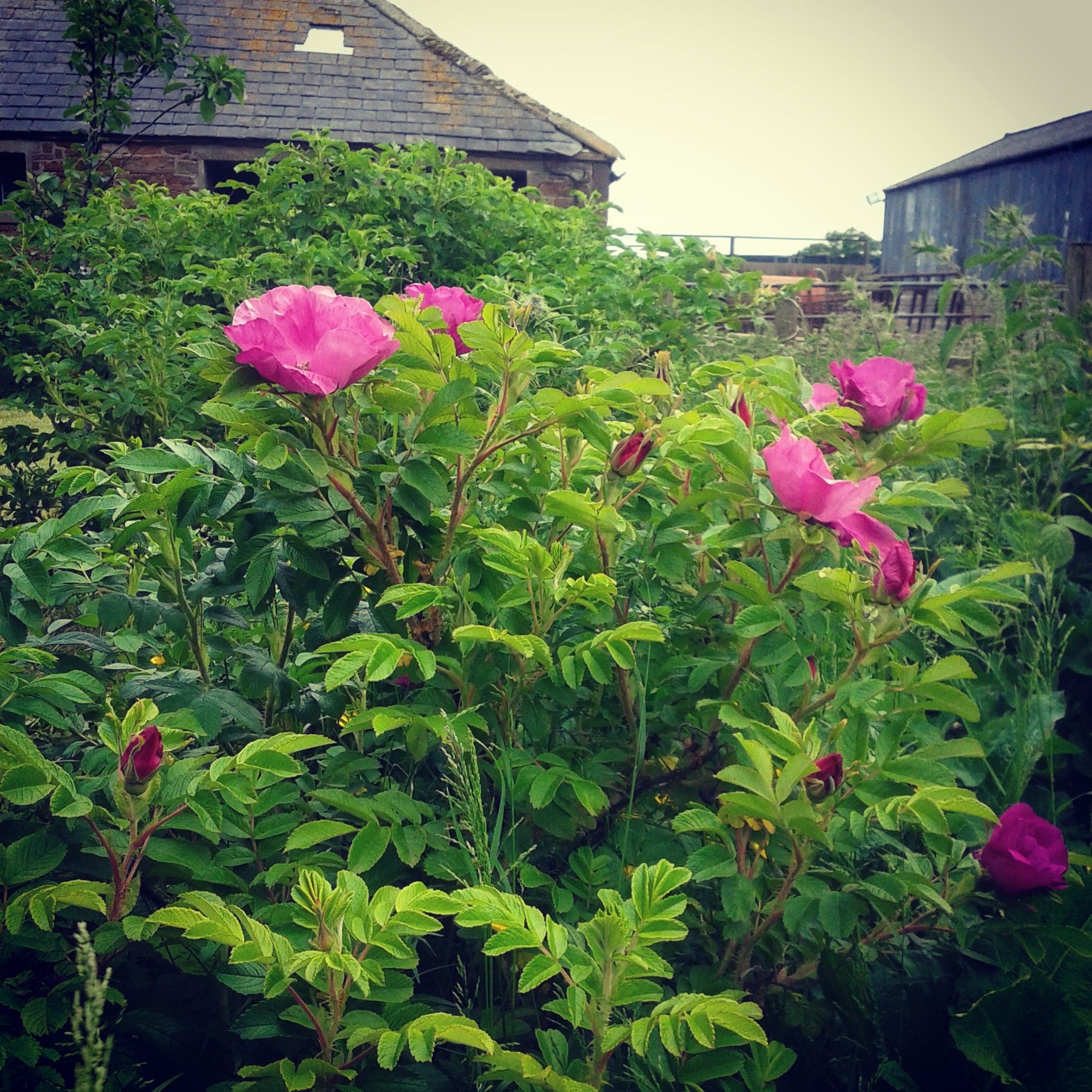 Rugosa rose hedge