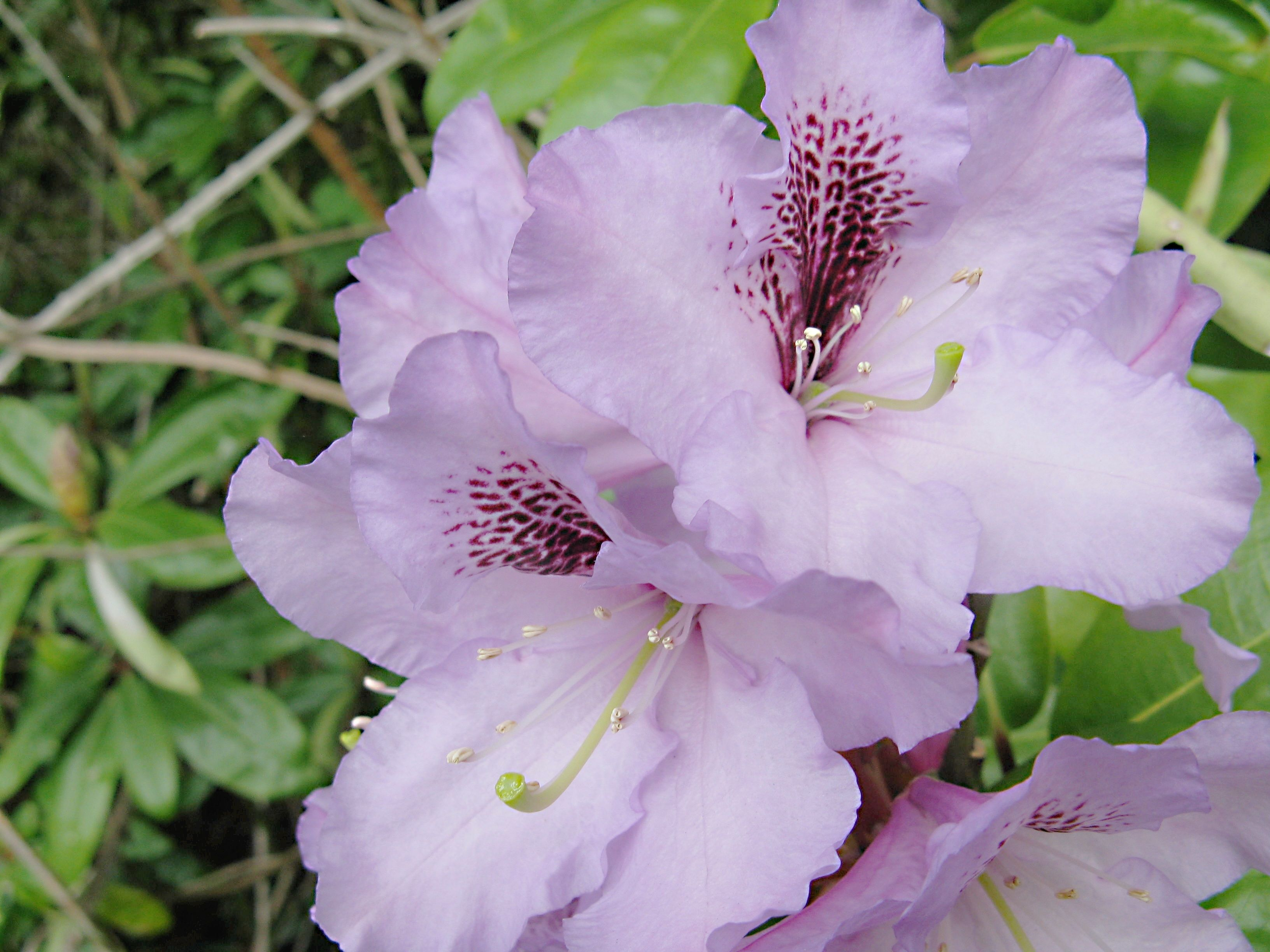 Rhododendron Photos, Facts, and Care Tips Purple flowers