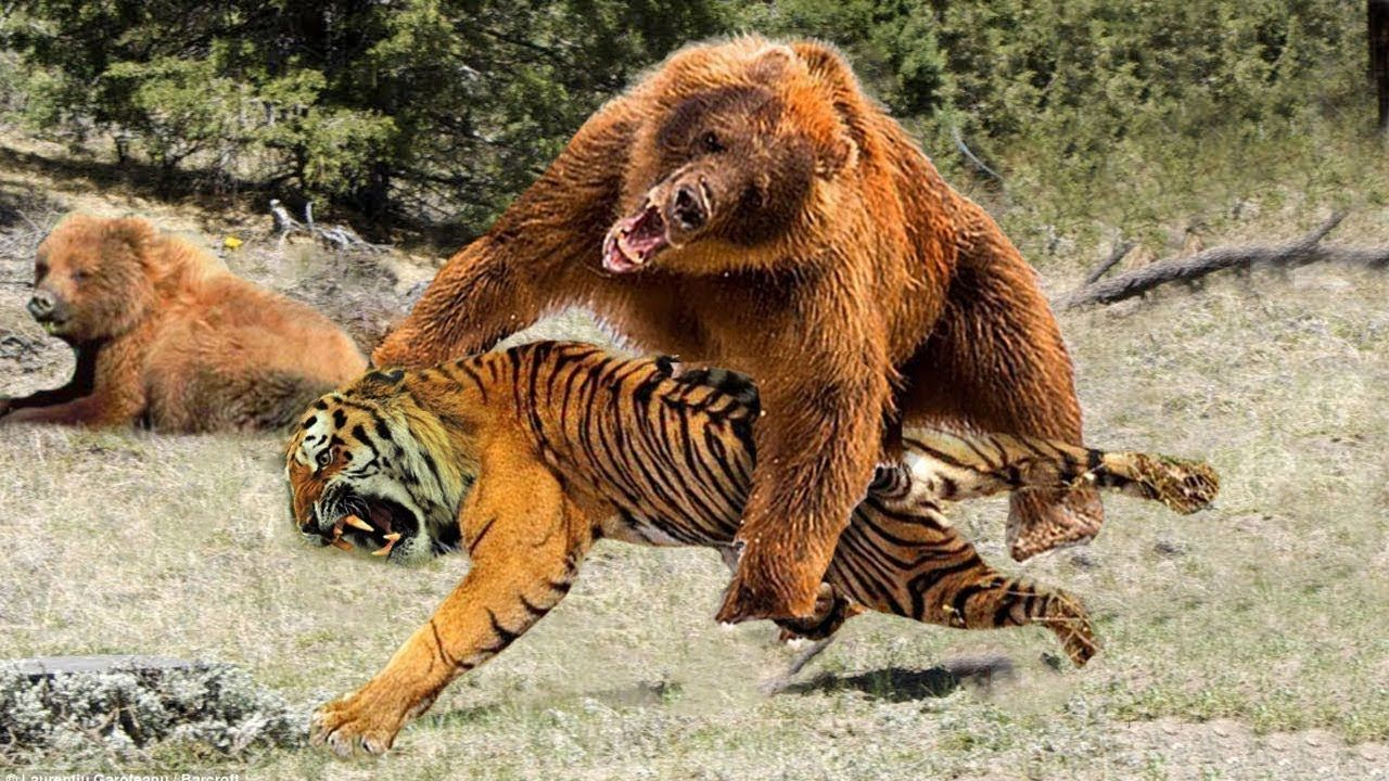 LIVE Big Mistake When Tiger Attack Baby Bear Crazy