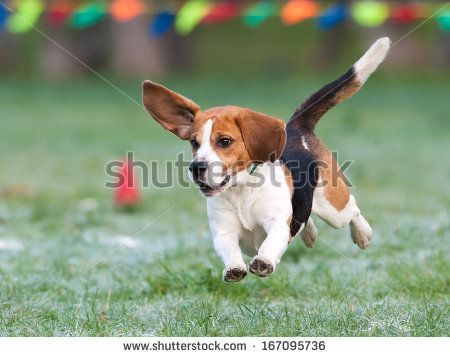 Pin On Beagles