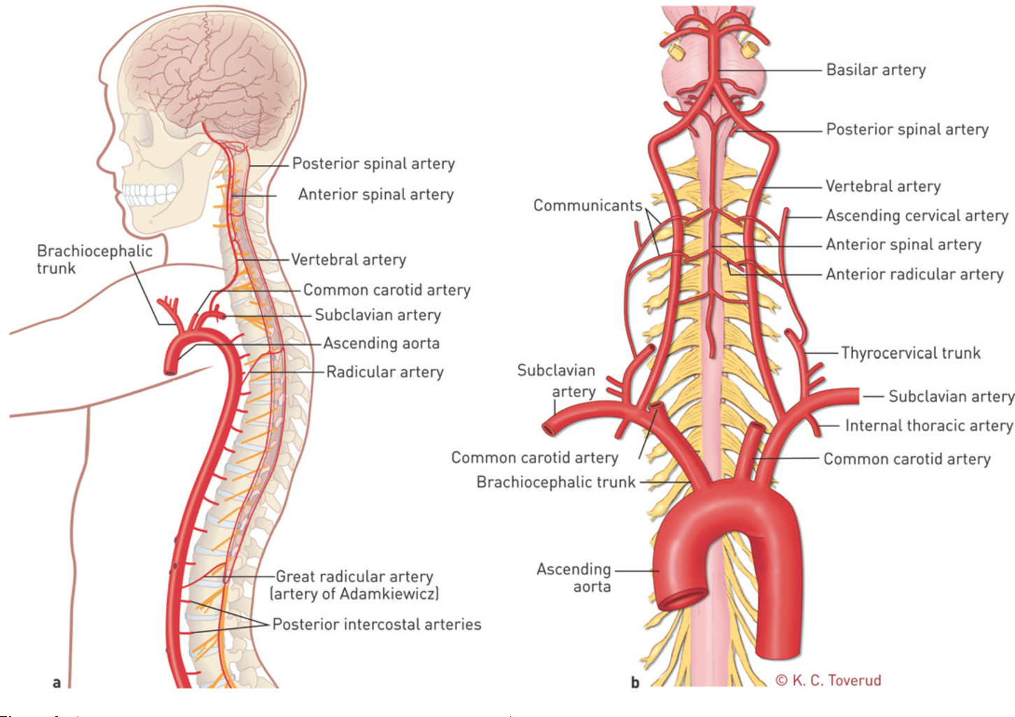 Figure 4 A An Overview Of The Blood Supply To The Spine In The