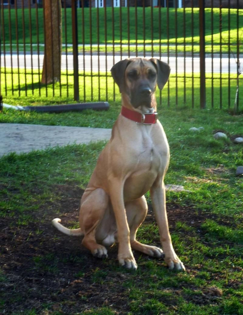 Adopt Scooby on Great dane dogs, Great dane rescue, Dogs