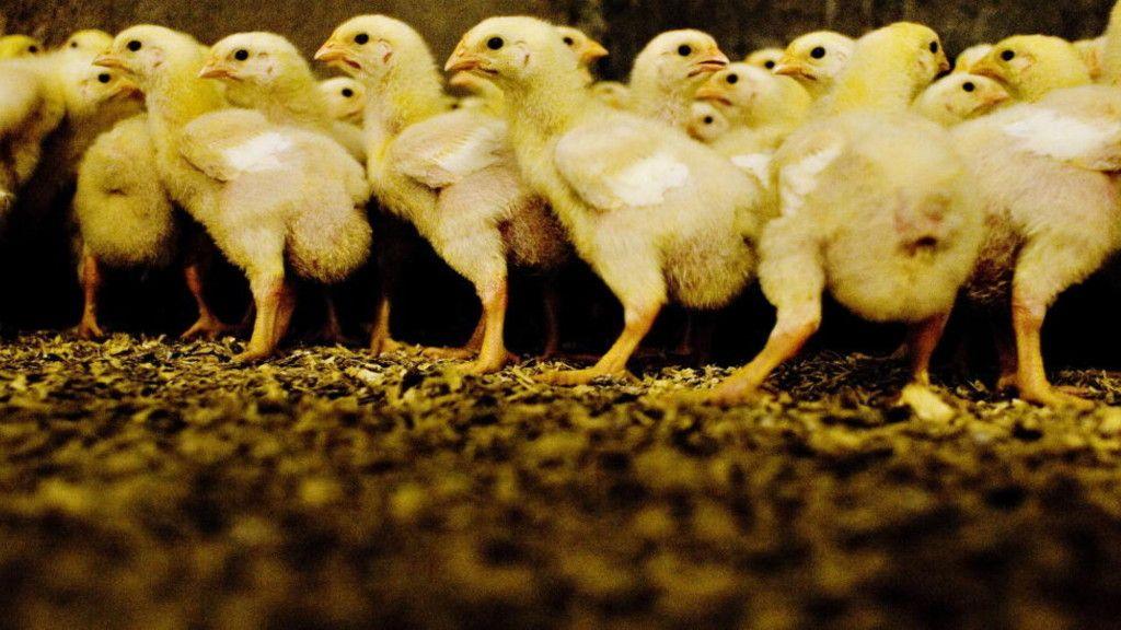 HEMMELIGHETER OM NORSK DYREINDUSTRI: «Mattilsynet vet at norske kyllinger ikke hadde trengt antibiotika om det ble satt ti kyllinger per kvadratmeter. De forteller heller ikke at Landbruksdepartementet nå vil øke tettheten fra 19 til 22 kyllinger per kvadratmeter, som vil øke forekomsten av antibiotikaresistent E.coli, salmonella og Campylobacter, den vanligste årsaken til diaré», skriver Geelmuyden. FOTO: ADRIAN ØHRN JOHANSEN/ DAGBLADET
