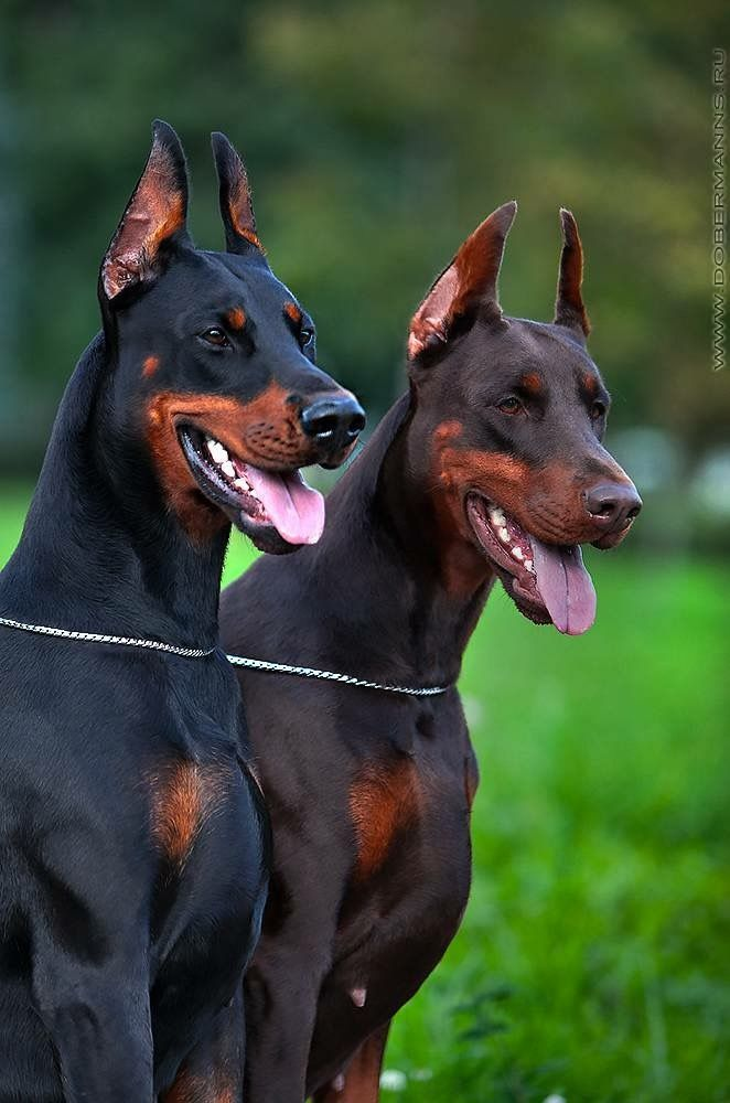 Beautiful Portrait Of Two Happy Doberman Dogs Doberman Pinscher