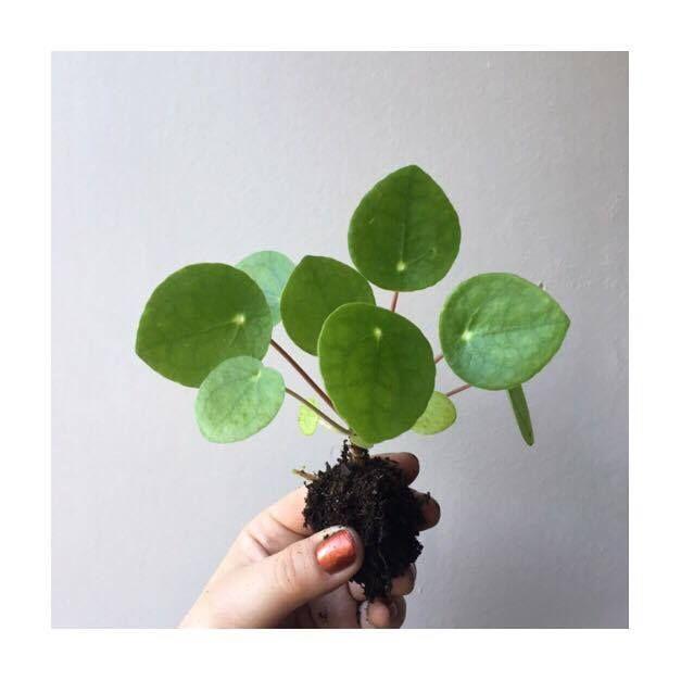 tout savoir sur le pilea peperomioides sweety oxalis plantes les pileaddict pinterest. Black Bedroom Furniture Sets. Home Design Ideas