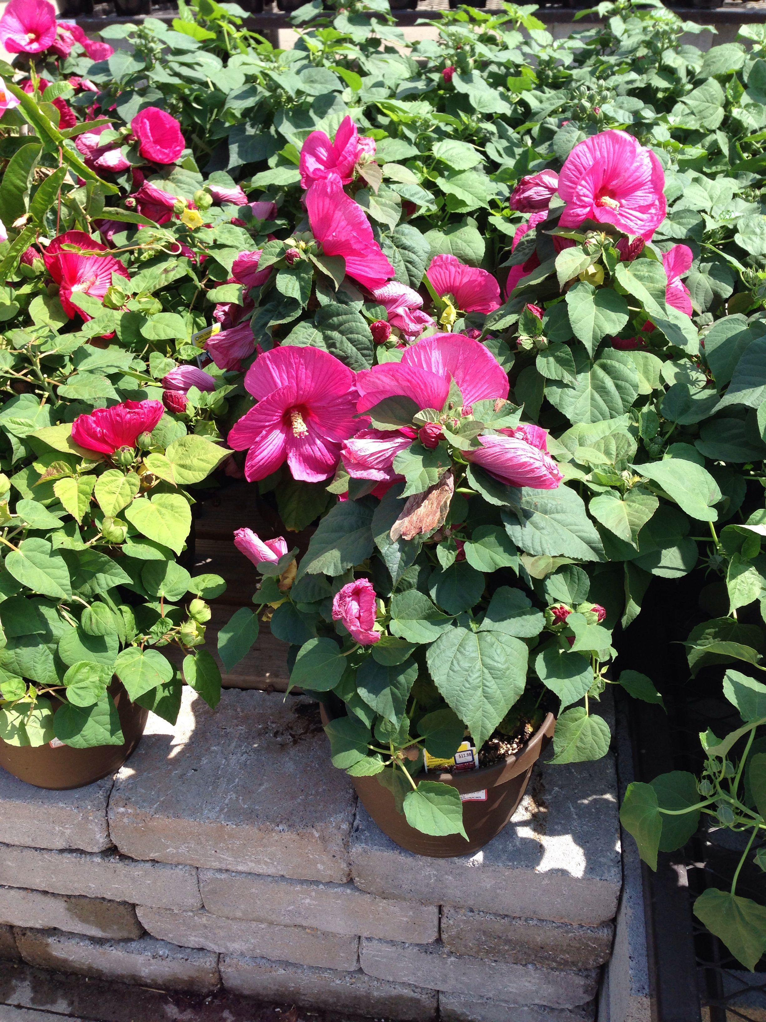12 Hibiscus At Lowes Might Need Me One Landscaping Inspiration