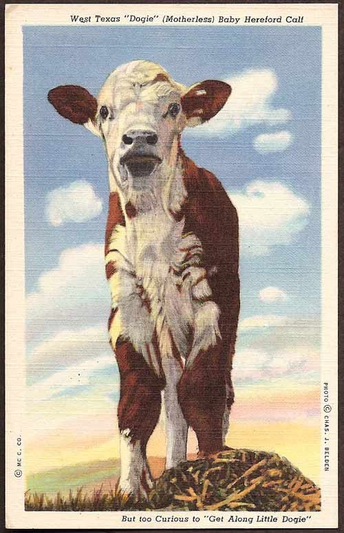 Texas Vintage Linen Postcard - West Texas Dogie Motherless Baby Hereford Calf