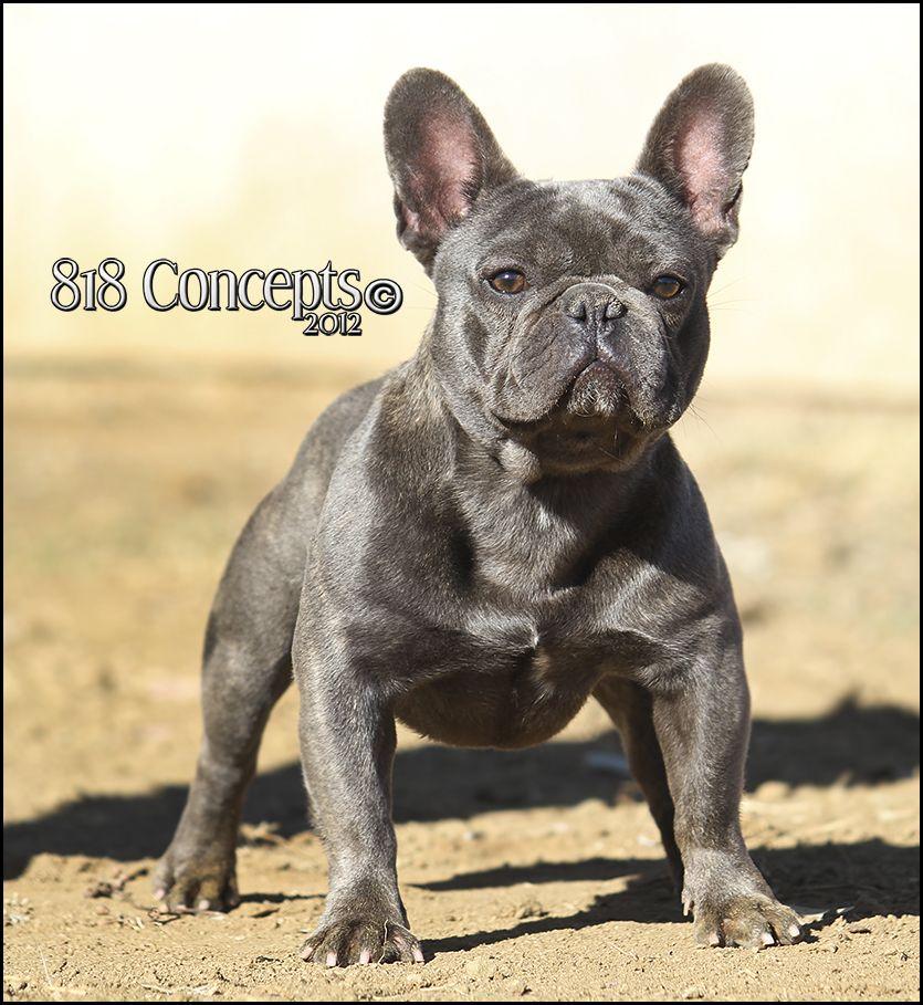Huckleberry blue french bulldog stud French bulldog blue