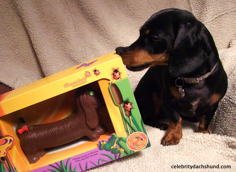 Gettin' a sniff of a chocolate dachshund